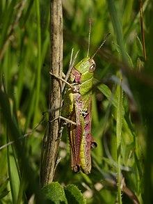 Female Chorthippus parallelus
