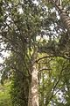 Christchurch Botanic Gardens, New Zealand section, rimu tree, 2016-02-04-2.jpg