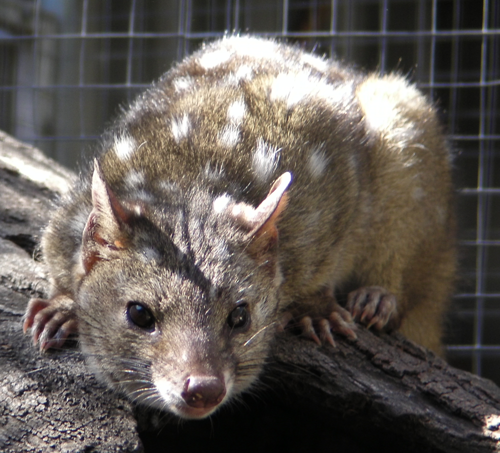 The average litter size of a Western quoll is 5
