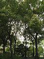 Cinnamomum camphora(L.)Presl.JPG