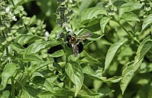 Cinnamon Basil and Bumblebee 2 LR.jpg