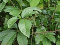 Cissus ¿ species ? (4954602430).jpg