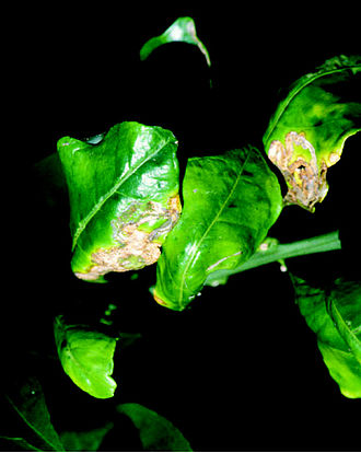 Citrus canker - Lesions on leaves