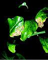 Citrus canker on foliage.jpg