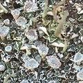 Cladonia fimbriata 29393008.jpg