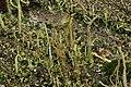 Cladonia sp. (24375383687).jpg