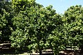 Clausena lansium - Fruit and Spice Park - Homestead, Florida - DSC09089.jpg