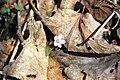 Claytonia caroliniana (Carolina spring beauty) (near Middle Run, Fayette County, Pennsylvania, USA) 4 (48344073887).jpg