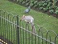 Climbing squirrel and pidgeon London.JPG