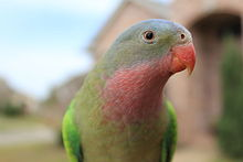 A curious male Princess parrot.