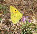 Clouded Yellow. Colias crocea (24434236030).jpg