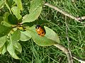 Clytra quadripunctata01.jpg