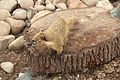 Coati at Marwell Wildlife 3.jpg