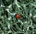 Coccinella septempunctata - Flickr - S. Rae (1).jpg