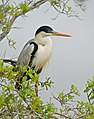 Cocoi Heron (Ardea cocoi) (28977702270).jpg