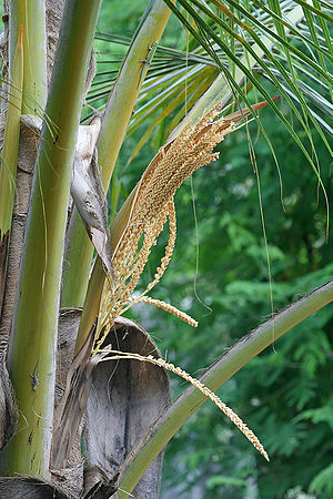 Coconut - Coconut flowers