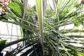 Cocos nucifera 22zz.jpg