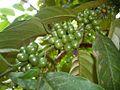 Coffee nut (3).JPG