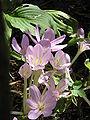Colchicum byzantinum005.jpg