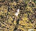 Colchicum hungaricum.jpg