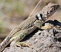 Collared Lizard Albuquerque NM Preview.JPG
