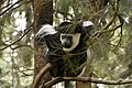 Colobus monkey at Amora Gedel Park, Hawassa (8) (29028219272).jpg