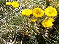 Coltsfoot - geograph.org.uk - 155136.jpg