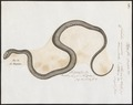 Coluber mucosus - 1700-1880 - Print - Iconographia Zoologica - Special Collections University of Amsterdam - UBA01 IZ12100201.tif