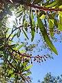 Comarostaphylis polifolia.jpg