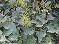 Combretum albidum (2276566410).jpg