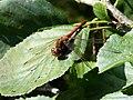 Common Darter Dragonfly (8012797304).jpg