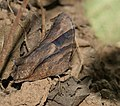 Common Evening Brown (Melanitis leda) at Sindhrot near Vadodara, Gujrat Pix 060.jpg