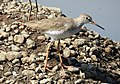 Common Redshank Tringa totanus by Dr. Raju Kasambe DSCN9356 (10).jpg