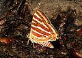 Common Silverline Spindasis vulcanus Melghat TR by Dr. Raju Kasambe.jpg