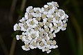 Common Yarrow (Achillea millefolium) - Guelph, Ontario 02.jpg