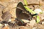Common banded peacock (Papilio crino) underside.jpg