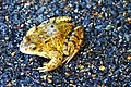 Common frog (Rana temporaria) - geograph.org.uk - 668632.jpg
