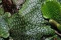 Conocephalum salebrosum (a, 145855-475042) 7777.JPG