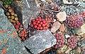 Conophytum ficiforme in Robertson Karoo habitat - dried in dormancy 1.jpg