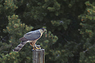 Cooper's hawk - Eating a finch in a backyard with feeders