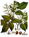 Copaifera officinalis - Köhler–s Medizinal-Pflanzen-047.jpg