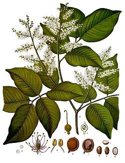 Copaifera baumiana - Wikipedia