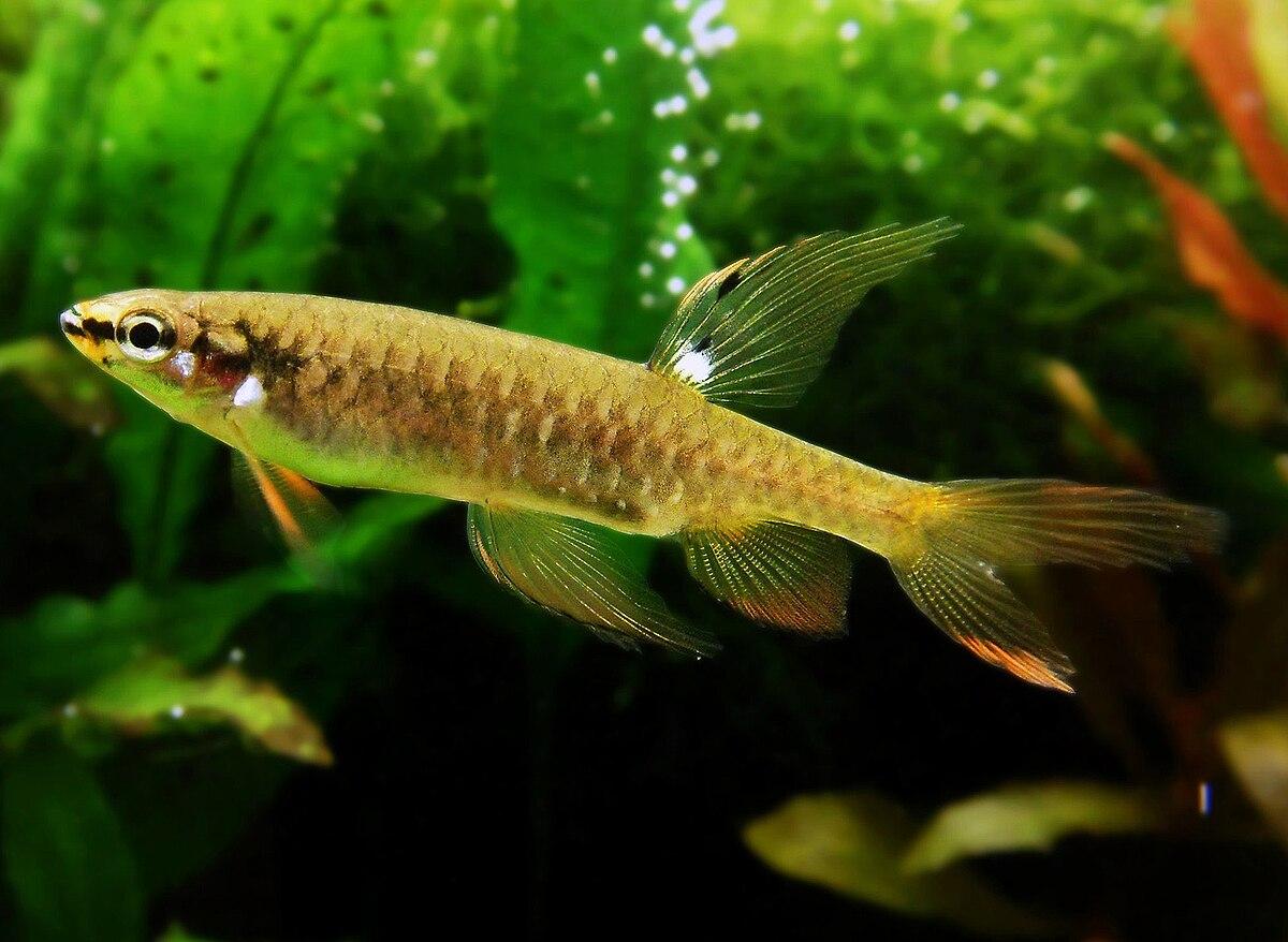 Copella genus wikipedia for Fish representative species