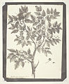 "Copy of Botanical Engraving of ""Celtis"" by Henry Fox Talbot.jpg"