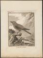 Coracias garrula - 1793 - Print - Iconographia Zoologica - Special Collections University of Amsterdam - UBA01 IZ16700217.tif