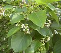 Cordia dichotoma flowers and foliage.jpg