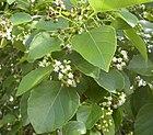 Cordia dichotoma flowers and foliage.jpg