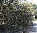 Cornus alba.jpg