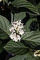 Cornus alba Buds Yellow 0zz.jpg