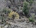 Cornus mas - Cornelian cherry tree 01.jpg